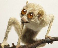 Slender loris_c Paul Cliff_E3Q9879