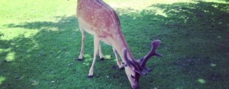 Dunham Massey deer creativetourist