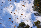 Photo of a blue sky with orange and black butterflies crossing it