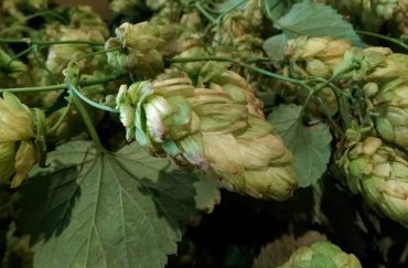 Photo of fresh green hops