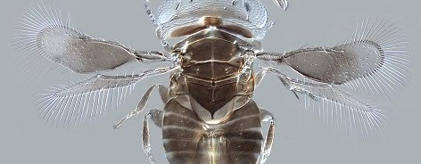 Image of microscopic parasitoid wasp
