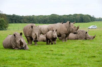 The rhinos at Knowsley Safari Park